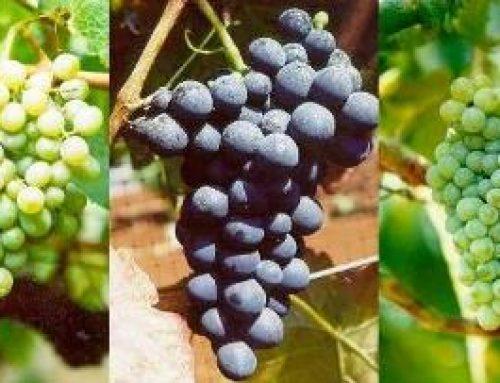 馬德拉酒的主要葡萄品種